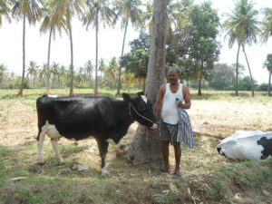 Cow With Owner
