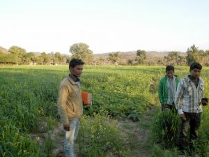 Samaj Shilpi- Dasarth with other 2 other village youth in their Potato Farm